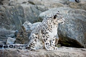 Snow_Leopard_Sitting_In_Rocks_600